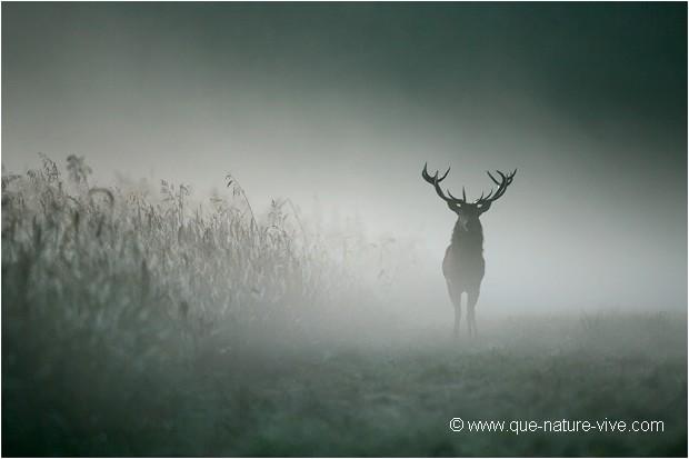 CERF de BRUME 02 : Daniel Trinquecostes , Photographe Naturaliste ...: www.que-nature-vive.com/galerie/xt_photo.asp?NumPhoto=103306&Rub=3260