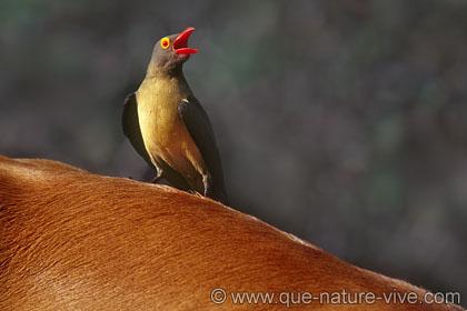 Pique boeuf bec rouge daniel trinquecostes for Oiseau bec rouge